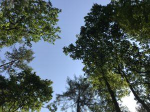 Baumwipfel von unten betrachtet